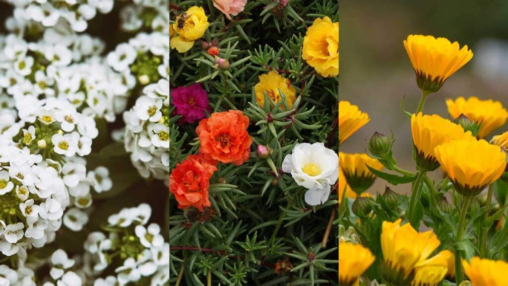 5 устойчиви на слънце цветя